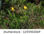 cypripedium parviflorum ... | Shutterstock . vector #1255402069