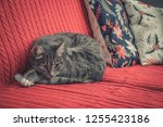 grey cute cat laying on red... | Shutterstock . vector #1255423186