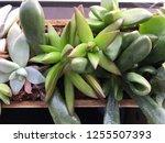 succulents indoor houseplant...   Shutterstock . vector #1255507393