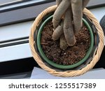 twisted money tree root potted...   Shutterstock . vector #1255517389