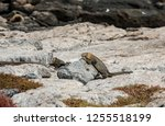 south plaza island  galapagos   ... | Shutterstock . vector #1255518199