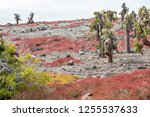 south plaza island  galapagos   ... | Shutterstock . vector #1255537633