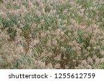 reed belt with flowering reeds...   Shutterstock . vector #1255612759
