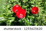 tulip bloom. blooming tulip. | Shutterstock . vector #1255625620