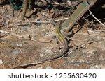 an italian wall lizard ... | Shutterstock . vector #1255630420