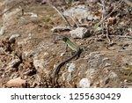 an italian wall lizard ... | Shutterstock . vector #1255630429