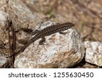 a tyrrhenian wall lizard ... | Shutterstock . vector #1255630450