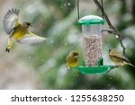 european greenfinch  chloris... | Shutterstock . vector #1255638250