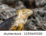 south plaza island  galapagos   ... | Shutterstock . vector #1255645330