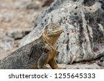 south plaza island  galapagos   ... | Shutterstock . vector #1255645333