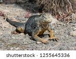 south plaza island  galapagos   ... | Shutterstock . vector #1255645336
