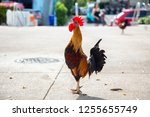 big rooster crowing in the... | Shutterstock . vector #1255655749