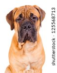 Stock photo red bullmastiff puppy face close up dog isolated on white background 125568713