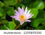 beautiful lotus blossoming in... | Shutterstock . vector #1255855330
