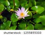 beautiful lotus blossoming in... | Shutterstock . vector #1255855333
