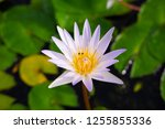 beautiful lotus blossoming in... | Shutterstock . vector #1255855336