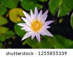 beautiful lotus blossoming in... | Shutterstock . vector #1255855339