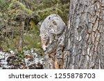 Bobcat Climbing On Tree In The...