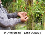 close up of hand picking chili... | Shutterstock . vector #1255900096