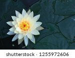 beautiful lotus flower in pond | Shutterstock . vector #1255972606