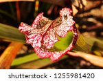 pale pitcher mouth with a small ... | Shutterstock . vector #1255981420