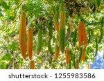 young bitter gourd hang on... | Shutterstock . vector #1255983586