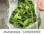 Small photo of Khat (Catha edulis) chewing petals. A common aphrodisiac in Yemen.