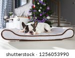 french bulldog lying down under ... | Shutterstock . vector #1256053990