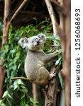 koalas in the zoo | Shutterstock . vector #1256068693