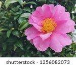 blooming pink camellia flower... | Shutterstock . vector #1256082073