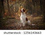 Irish Red And White Setter Dog...