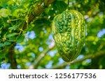 bitter melon  balsam pear ... | Shutterstock . vector #1256177536