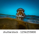 Saltwater crocodile Jaws and Teeth closeup half water underwater shot