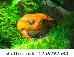 tomato frog sitting on the... | Shutterstock . vector #1256292583