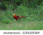 Chinese Pheasant  Chrysolophus...