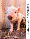 Stock photo close up of a cute muddy piglet running around outdoors on the farm ideal image for organic farming 125639099