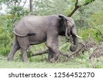 saw this elephant while... | Shutterstock . vector #1256452270