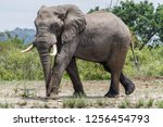 saw this elephant while... | Shutterstock . vector #1256454793