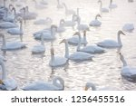 beautiful white whooping swans...   Shutterstock . vector #1256455516