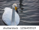 beautiful white whooping swans...   Shutterstock . vector #1256455519