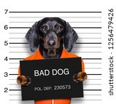 dachshund sausage dog holding a ... | Shutterstock . vector #1256479426