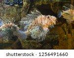 red lionfish in the aquarium.  | Shutterstock . vector #1256491660
