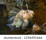 red lionfish in the aquarium.  | Shutterstock . vector #1256491666