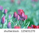 field with tulips from Holland - stock photo