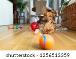 little dog at home in the... | Shutterstock . vector #1256513359