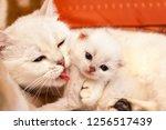 White British Cat Mom Hugs And...