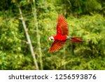 red parrot in flight. macaw... | Shutterstock . vector #1256593876