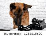 german shepherd talking on the... | Shutterstock . vector #1256615620