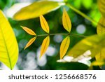 mahogany leaves with blurry... | Shutterstock . vector #1256668576