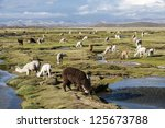 Llamas And Alpacas Graze In Th...